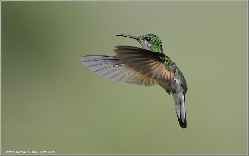 Female Stripe-tailed Hummingbird