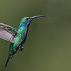 Green Violetear in Flight
