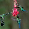 """Sometimes we are soooo Lucky!<br /> <br /> To catch the flower and one bird sharp is one thing, but 3 birds sharp, and a flower, and a bug -  Luck!  The bird on the left is a Magnificent and the two on the right are Fiery-throateds.<br /> <br /> Thanks to all my friends in Costa Rica for helping me make these tour possible.  After so many tours, I have become such good friends with everyone, and I really appreciate all the efforts to make my programs successful.   (one day I might just move to Costa Rica for good!)<br /> <br /> Thanks for looking!<br /> <br /> Safe travels this week, hope all is well in your life.<br /> Please help us all respect nature.<br /> <br /> Raymond<br /> <br /> Big Cat tour in Africa - Please join me!   <a href=""""http://raymondbarlowworkshops.blogspot.ca/2014/03/raymond-barlow-big-cat-tours-in-tanzania.html"""">http://raymondbarlowworkshops.blogspot.ca/2014/03/raymond-barlow-big-cat-tours-in-tanzania.html</a><br /> <br /> Fiery-throated / Magnificent Hummingbirds in Flight<br /> RJB Colours of Costa Rica Tour<br />  <a href=""""http://www.raymondbarlow.com"""">http://www.raymondbarlow.com</a><br /> 1/1250s f/5.0 at 200.0mm iso2000"""