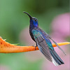 Violet sabrewing<br /> Raymond's Costa Rica Photo Tours<br /> <br /> ray@raymondbarlow.com<br /> Nikon D300 ,Nikkor 200-400mm f/4G ED-IF AF-S VR<br /> 1/250s f/4.0 at 290.0mm iso640