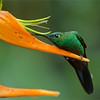 "Ecuador Tours coming soon!<br /> <br /> After hosting 15 tours in Costa Rica, and many more tours to this awesome country, I plan to visit Ecuador for a different series of workshops / tours.  We will visit 2 different lodges, and photograph several new species of birds.<br /> <br /> More info to be posted soon.<br /> <br /> Raymond<br /> <br /> Male Green-crowned Brilliant Feeding<br /> RJB Colours of Costa Rica Tour<br />  <a href=""http://www.raymondbarlow.com"">http://www.raymondbarlow.com</a><br /> 1/250s f/4.0 at 340.0mm iso640"