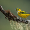 "Yellow and Green<br /> <br /> Colour is a big deal in nature photography, we all look for the drama!<br /> <br /> This silver-throated tanager takes this concept to the max.  these colours just seem to be the ""natural"" match.  One of the smallest tanagers I have seen in Costa Rica, but also a very friendly and approachable bird.  We keep a good distance for most of the birds at this location, then move in for a shot during last light.<br /> <br /> Lots more editing to do as I have a back-log of workshop images to review and edit, hard to keep up!<br /> <br /> Thanks for looking!<br /> <br /> <br /> Silver-throated Tanager<br /> RJB Costa Rica Tours<br /> <br /> ray@raymondbarlow.com<br /> Nikon D800 ,Nikkor 200-400mm f/4G ED-IF AF-S VR<br /> 1/125s f/4.0 at 400.0mm iso1000"