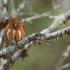 "Pure Beauty in Nature!<br /> <br /> We are enjoying our tour here in Costa Rica, the opportunity to view this Pygmy Owl and his mate was superb.  Touring this amazing wonderland of hummingbirds, tanagers, toucans is a true privilege! <br /> <br /> Special thanks to the excellent people in this country for taking such good care of the natural environment.<br /> <br /> Please respect nature, and nature will respect you!<br /> <br /> Best wishes... back to Canada next week, then India for the middle of April!<br /> <br /> Raymond.<br /> <br /> <br /> Costa Rican Pygmy Owl - Male<br /> RJB Costa Rica Tours<br />  <a href=""http://www.raymondbarlow.com"">http://www.raymondbarlow.com</a><br /> 1/1000s f/4.0 at 400.0mm iso2000"