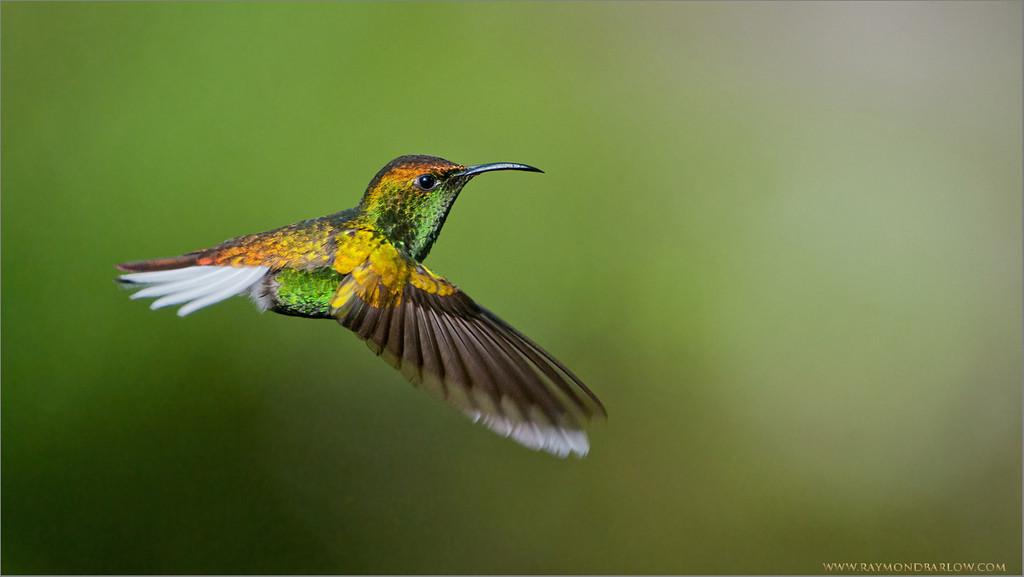 Golden-Crowned Emerald Hummingbird