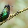 Firey-throated Hummingbird