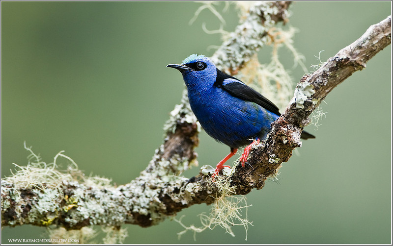 Red-legged Honey Creeper