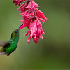 Coppery-headed Emerald in Flight<br /> RJB Colours of Costa Rica Tour<br /> Nikon D800 ,Nikkor 200-400mm f/4G ED-IF AF-S VR<br /> 1/640s f/4.0 at 400.0mm iso800