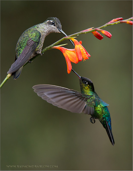 """Two Beauties in Costa Rica!<br /> <br /> Join me for a photo tour!<br /> <br /> Special thanks to everyone here on G+ - Amazing # of views, comments, shares, and +1's!. Over 8 Million views since the 1st of May!<br /> <br /> Thanks so much, and the best thing - people do appreciate nature!<br /> I love the pure honesty of natural light!<br /> <br /> Please respect our natural world, and help save our planet!<br /> <br /> Raymond.<br /> <br /> Fiery-throated and Magnificent Hummingbirds Feeding<br /> RJB Costa Rica Photo Tours<br />  <a href=""""http://www.raymondbarlow.com"""">http://www.raymondbarlow.com</a><br /> 1/1250s f/6.3 at 220.0mm iso3200"""