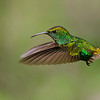 Coppery-headed Emerald Hummingbird in Flight