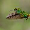 Coppery-headed Emerald Hummingbird in Flight