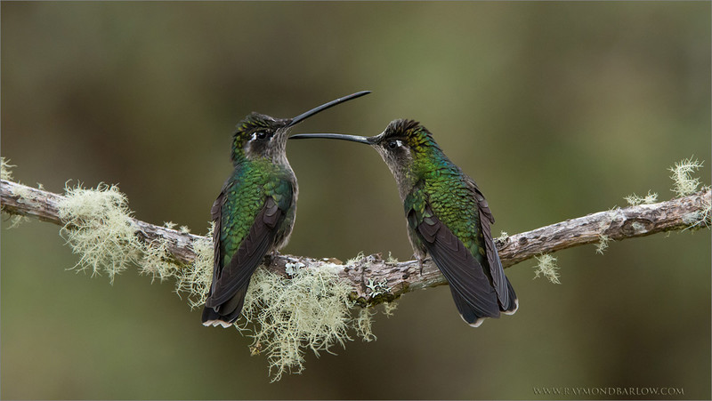 """#nature #naturephotos  <br /> <br /> A Pair of Ladies - In a Sword Fight!<br /> <br /> Another superb tour just completed in Costa Rica., More coming soon!<br /> <br /> Thanks to everyone for the nice comments, and encouragement recently, thanks for all the shares!<br /> <br /> Best wishes for a good day!<br /> <br /> Raymond<br /> <br /> <br /> Please protect Nature!!<br /> <br /> <br /> Female Magnificent Hummingbirds<br /> RJB Costa Rica Photo Tours<br />  <a href=""""http://www.raymondbarlow.com"""">http://www.raymondbarlow.com</a><br /> 1/1600s f/6.3 at 270.0mm iso3200"""