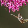 DSC_0124 Volcano Hummingbird 1200 web