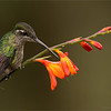 Female Magnificent Hummingbird - Costa Rica<br /> <br />  Have a great Fathers Day!<br /> <br /> raymond