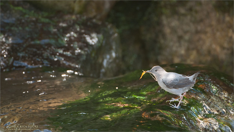 American Dipper - in Costa Rica<br /> Raymond's Costa Rica Photo Tours<br /> <br /> ray@raymondbarlow.com<br /> Nikon D300 ,Nikkor 200-400mm f/4G ED-IF AF-S VR<br /> 1/125s f/4.0 at 400.0mm iso500