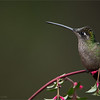 DSC_8394 Magnificent Hummingbird 1200 web