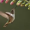 DSC_2618 Volcano Hummingbird 1200 web