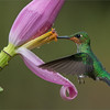 Colour in Flight<br /> <br /> Presently hosting 2 tours in Costa Rica with wonderful guests, and beautiful weather.  Hummingbird photography can be extremely challenging.  Working with natural light is the key to creating images that look real, or at least as real as possible!<br /> <br /> I will try to post a few more, time is limited.  I start around 4 am, and finish about 9-9:30 at night! - these guys keep me busy, and such great fun hanging out and working with some of the best photographer I have known.<br /> <br /> Green Crown Brilliant Juvenile <br /> RJB Costa Rica Tours<br /> ray@raymondbarlow.com<br /> Nikon D800 ,Nikkor 200-400mm f/4G ED-IF AF-S VR<br /> 1/2500s f/4.0 at 350.0mm iso1600