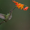 "The Ultimate Test!<br /> <br /> A good action photographer can do well with these tiny birds, for me<br /> this is my most difficult subject.  Hummingbirds in flight can be an awesome challenge.  to get everything right, it does take practice,along with all the fun!<br /> <br /> Looking forward to my next package of tours coming in November through to June... click if your interested in joining my tour!<br /> <a href=""http://tinyurl.com/l32vvo2"">http://tinyurl.com/l32vvo2</a><br /> <br /> Magnificent Hummingbird in Flight<br /> RJB Colours of Costa Rica Tour<br />  <a href=""http://www.raymondbarlow.com"">http://www.raymondbarlow.com</a><br /> 1/1000s f/4.0 at 350.0mm iso1000"