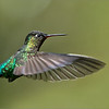 Firey-throated Hummingbird in Flight