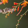 DSC_9887 Volcano Hummingbird 1200 web