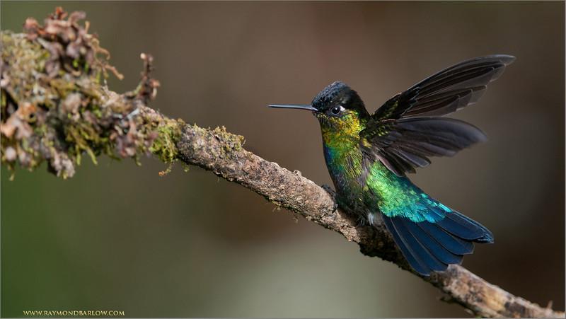 Fiery-throated Hummingbird