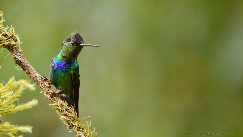 "Fiery Throated Hummingbird<br /> Raymond's Costa Rica Photo Tours<br /> <br /> Please Respect Nature<br /> <br /> <br />  <a href=""http://www.raymondbarlow.com"">http://www.raymondbarlow.com</a><br /> ray@raymondbarlow.com<br /> Nikon D800 ,Nikkor 200-400mm f/4G ED-IF AF-S VR<br /> 1/1250s f/5.6 at 400.0mm iso1600"