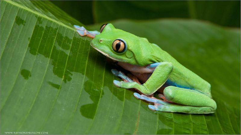 Yellow-eyed Tree Frog
