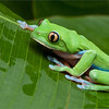 Yellow-eyed Tree Frog