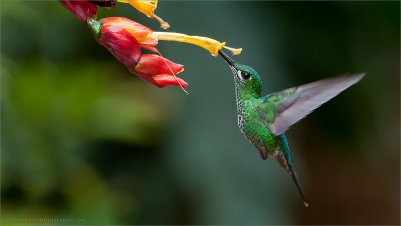 """A Wonder in Flight!<br /> <br /> These hummingbirds never fail to amazing me with their sense of flight and navigation skills!<br /> <br /> They tear around the garden in a crazy rush to get to each destination, in a frantic pace that is hard to imagine!  The colour and speed is unbelievable!<br /> <br /> Thanks for looking, have a great weekend!<br /> <br /> <br /> Green-crowned Brilliant Female in Flight<br /> RJB Colours of Costa Rica Tour<br />  <a href=""""http://www.raymondbarlow.com"""">http://www.raymondbarlow.com</a><br /> 1/640s f/4.0 at 200.0mm iso640"""