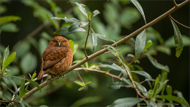 "The Ginger Male!  Pygmy Owl!<br /> <br /> One of this past winter's tour to Costa Rica, we had a great experience with some beautiful Owls.  A pair of male and female pygmy owls in mating mode.<br /> <br /> This bird was perched at a fair distance, so we waited until the light was just right before we fired a few shots.  The overcast light can really make a big difference.<br /> <br /> Best wishes to you, and thanks for the nice comments and shares!<br /> <br /> <br /> Costa Rican Pygmy Owl<br /> RJB Costa Rica Photo Tours<br />  <a href=""http://www.raymondbarlow.com"">http://www.raymondbarlow.com</a><br /> <br /> For prints - ray@raymondbarlow.com"