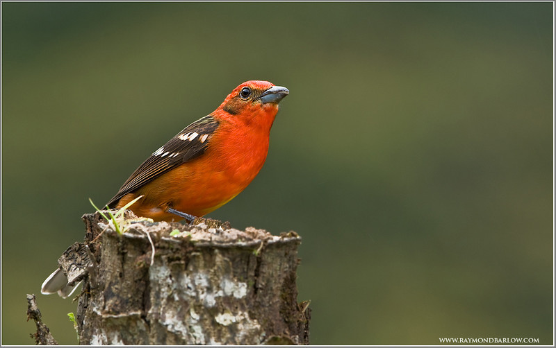 Flame Coloured Tanager