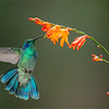 Green Violetear in Flight<br /> RJB Colours of Costa Rica Tour<br /> Nikon D800 ,Nikkor 200-400mm f/4G ED-IF AF-S VR<br /> 1/1000s f/4.0 at 350.0mm iso1000