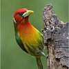 Red- headed Barbett