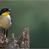 Yellow-throated Brush Finch