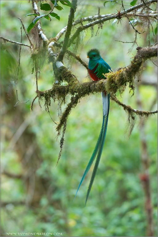 Resplendent Quetzal