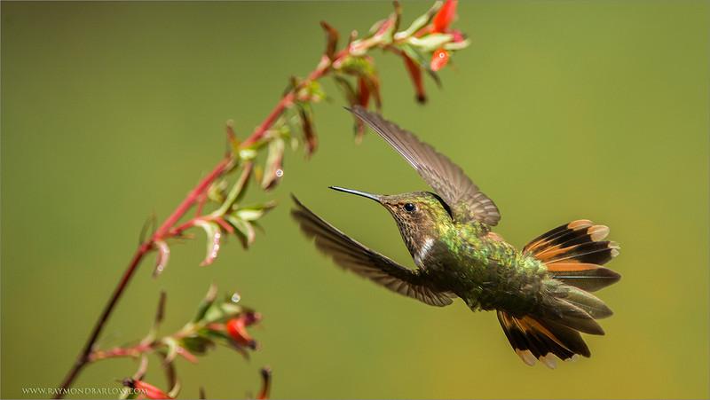 Scintillant Hummingbird<br /> RJB Costa Rica Tours<br /> <br /> ray@raymondbarlow.com<br /> Nikon D800 ,Nikkor 200-400mm f/4G ED-IF AF-S VR<br /> 1/8000s f/4.0 at 400.0mm iso1000