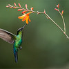 """A Hummingbird's Dance!<br /> <br /> Watching this bird """"dance"""" around the flower is a spectacle of nature.<br /> <br /> To be able to capture the sense of what I see through the lens is much more then a technical achievement.  After posting many images of hummingbirds here on so many websites, the feedback has been overwhelming.<br /> <br /> People enjoy the beauty, and the sense of freedom.  Imagine - all they need to do is visit a flower once in a while, and rest, what a life!  What we don't see in the images is how much they fight!  A dominant bird will tale over a flower, and not let anyone else in for a drink.  This is the real nature of these birds.  They can be very nasty!<br /> <br /> All natural light, no flash ever used.<br /> <br /> As a photographer, we share the pretty side, as a naturalist, we see the reality.  for me, the fun is presenting the nasty side too... in some of my previous images.<br /> <br /> Today is Canada day, enjoy the holiday Canadians, hope the weather is good in your area!<br /> <br /> Raymond<br /> <br /> ps.. Join me in India! click here for details<br /> <a href=""""http://tinyurl.com/meahvso"""">http://tinyurl.com/meahvso</a><br /> <br /> <br /> Fiery-throated Hummingbird in Flight<br /> RJB Colours of Costa Rica Tour<br />  <a href=""""http://www.raymondbarlow.com"""">http://www.raymondbarlow.com</a><br /> 1/2500s f/4.0 at 330.0mm iso1600"""