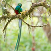 Resplendent Quetzal in Costa Rica<br /> <br /> One of the most incredible birds worldwide, the male Quetzal is truly a work of natures beauty.  Having such a chance to photograph such colours and feathers was quite an experience! <br /> <br /> Costa Rica will always be on of my favourite travel destination., I am now planning a tour for January.   What a place for a winter break from the snow and cold!<br /> <br /> Thanks for looking!