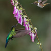 "A Fire and a Volcano! + Prints!<br /> <br /> <br /> A fiery-throated and a volcano hummingbird in flight on a flower!<br /> Not an easy capture, but sweet luck when it happens!<br /> <br /> Thanks to nature for these beautiful species in Costa Rica!<br /> <br /> I hope you will order a print?<br /> ray@raymondbarlow.com<br /> <br /> <br /> My gallery of images for Limited Edition Prints here!<br /> <a href=""http://tinyurl.com/lhrok8p"">http://tinyurl.com/lhrok8p</a><br /> <br /> Kind regards, please love and treat nature with respect!<br /> <br />  <a href=""http://www.raymondbarlow.com"">http://www.raymondbarlow.com</a>"