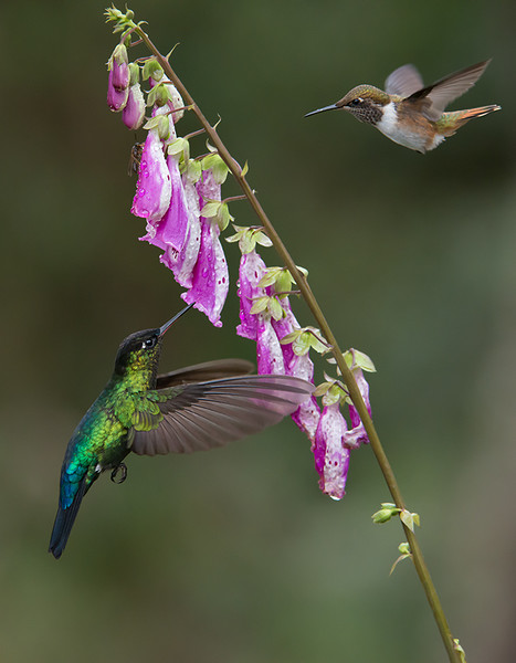 """A Fire and a Volcano! + Prints!<br /> <br /> <br /> A fiery-throated and a volcano hummingbird in flight on a flower!<br /> Not an easy capture, but sweet luck when it happens!<br /> <br /> Thanks to nature for these beautiful species in Costa Rica!<br /> <br /> I hope you will order a print?<br /> ray@raymondbarlow.com<br /> <br /> <br /> My gallery of images for Limited Edition Prints here!<br /> <a href=""""http://tinyurl.com/lhrok8p"""">http://tinyurl.com/lhrok8p</a><br /> <br /> Kind regards, please love and treat nature with respect!<br /> <br />  <a href=""""http://www.raymondbarlow.com"""">http://www.raymondbarlow.com</a>"""