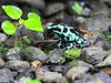 Black And Green Poison Dart Frog CostaRica