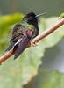 Black-bellied Hummingbird 1