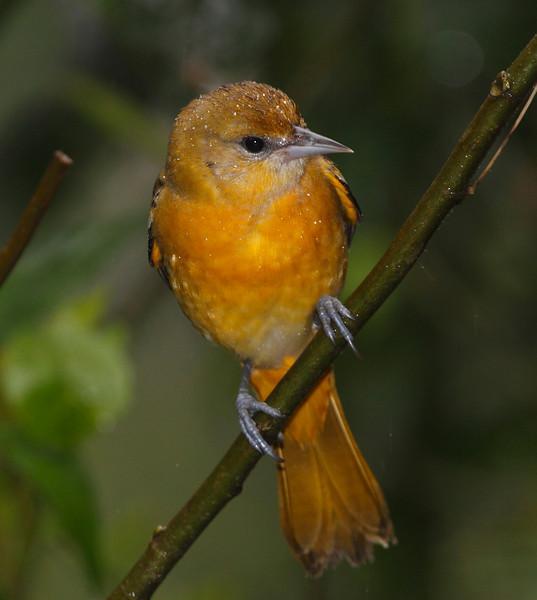 Baltimore Oriole Female 1