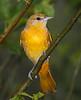 Baltimore Oriole Female 3