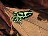 Black And Green Poison Dart Frog CostaRica-4