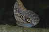 OwlButterfly (2)