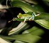 Tree Frog CostaRica-6