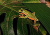 Tree Frog CostaRica-9