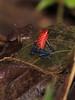 BlueJean Poison Dart Frog CostaRica