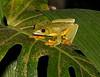 Tree Frog CostaRica-7